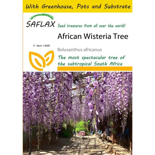 Saflax Potting Set - African Wisteria Tree - Bolusanthus Africanus - 10 Seeds - with Mini Greenhouse, Potting Substrate and 2 Pots