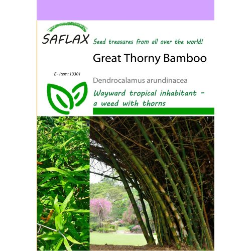 Saflax  - Great Thorny Bamboo - Dendrocalamus Arundinacea - 50 Seeds