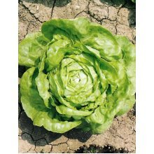 Vegetable - Lettuce Winter - Arctic King - 300 Seeds