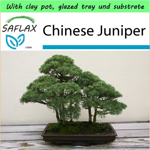 SAFLAX Garden to Go - Bonsai - Chinese Juniper - Juniperus - 30 seeds