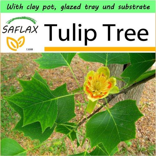 SAFLAX Garden to Go - Tulip Tree - Liriodendron - 20 seeds