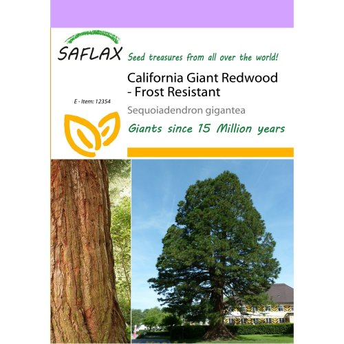 Saflax  - California Giant Redwood - Sequoiadendron Gigantea - 50 Seeds