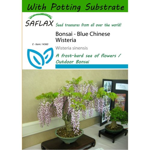 Saflax  - Bonsai - Blue Chinese Wisteria - Wisteria Sinensis - 4 Seeds - with Potting Substrate for Better Cultivation
