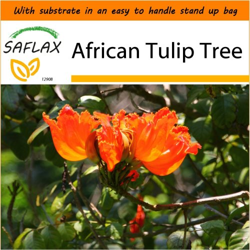 SAFLAX Garden in the Bag - African Tulip Tree - Spathodea - 30 seeds