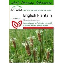 Saflax  - English Plantain - Plantago Lanceolata - 100 Seeds - with Potting Substrate for Better Cultivation