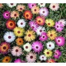 Flower - Mesembryanthemum Harlequin - 1500 Seeds