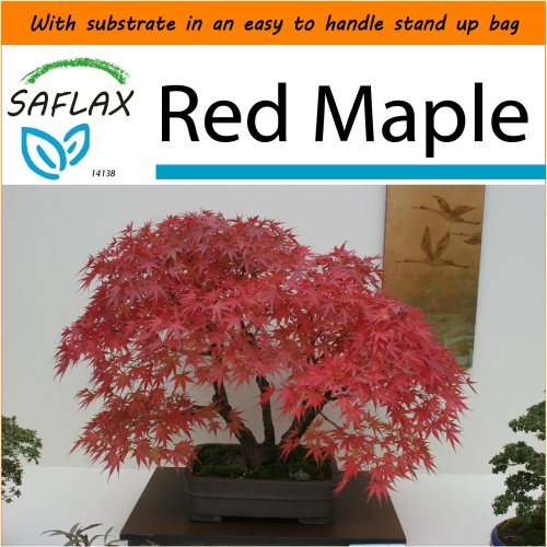 SAFLAX Garden in the Bag - Bonsai - Red Maple - Acer - 20 seeds