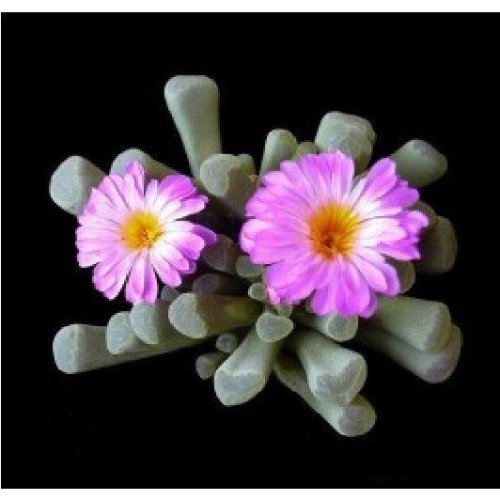 Flower - Cactus - Frithia Pulchra - Fairy Elephants Feet - 100 Seeds